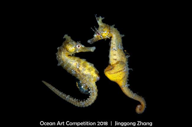 Chamado de Dança do Amor, o clique de dois cavalos marinhos recebeu quarto lugar em prêmio (Foto: Jinggong Zhang)