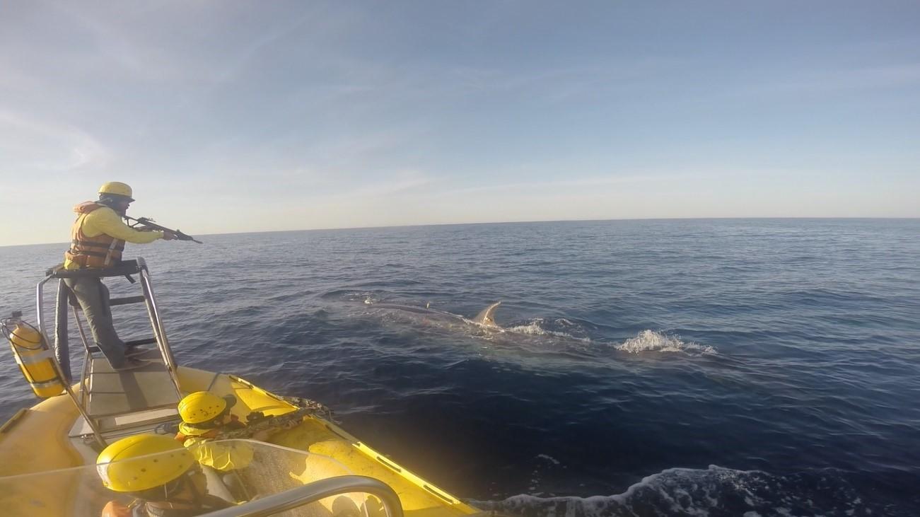 Primeira mulher no Brasil a taggear cetáceos é bióloga marinha