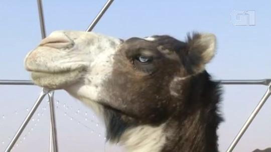 Camelos são desclassificados de concurso de beleza na Arábia Saudita por uso de botox