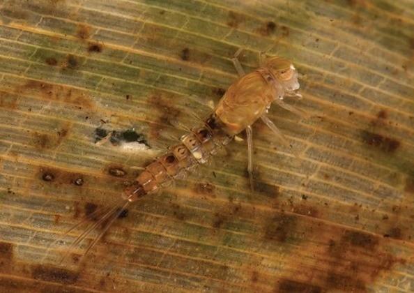 Nova espécie é descoberta em reserva de Santa Teresa, no ES thumbnail