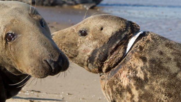 Foca é encontrada com pedaço de plástico enrolado em seu pescoço (Foto: Divulgação/ Friends of Horsey Seals)