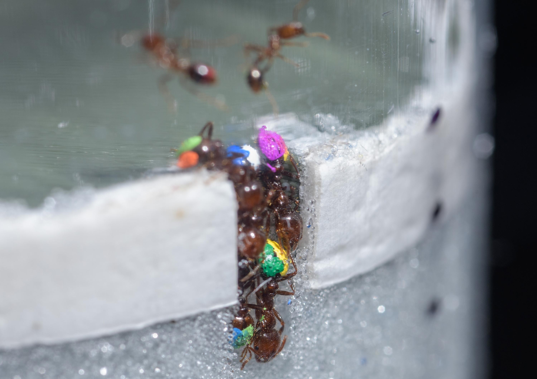 Ócio é o segredo da eficiência das formigas, afirma pesquisa