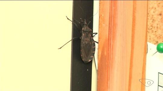 Barbeiros transmissores de doença de Chagas são encontrados em Venda Nova