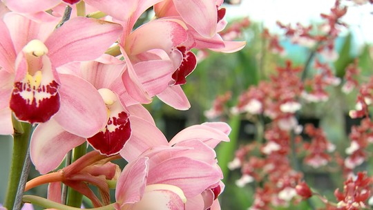 As orquídeas são destaque em Várzea Paulista