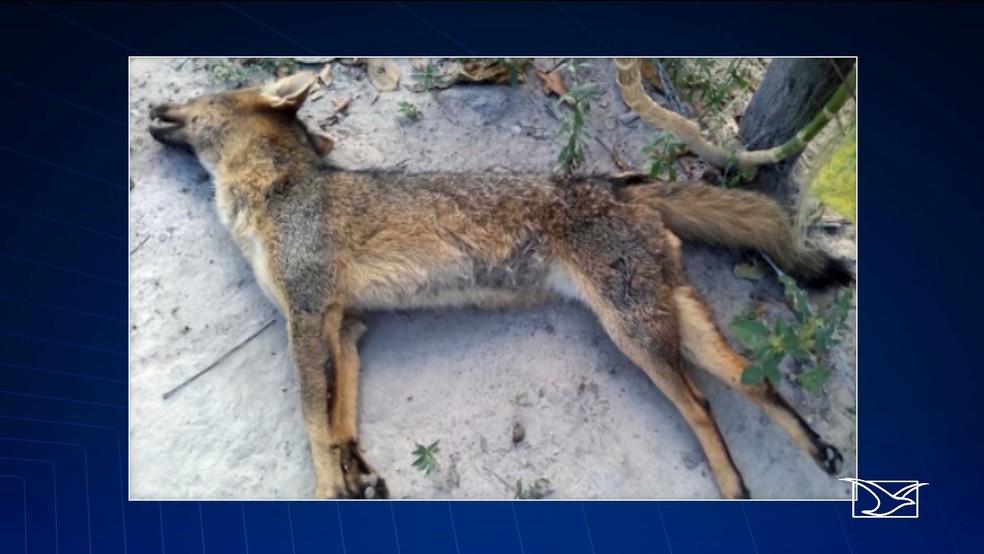 Raposa encontrada morta na região de Caxias, onde moradores dizem que estão sendo vítimas de ataques — Foto: Reprodução/TV Mirante