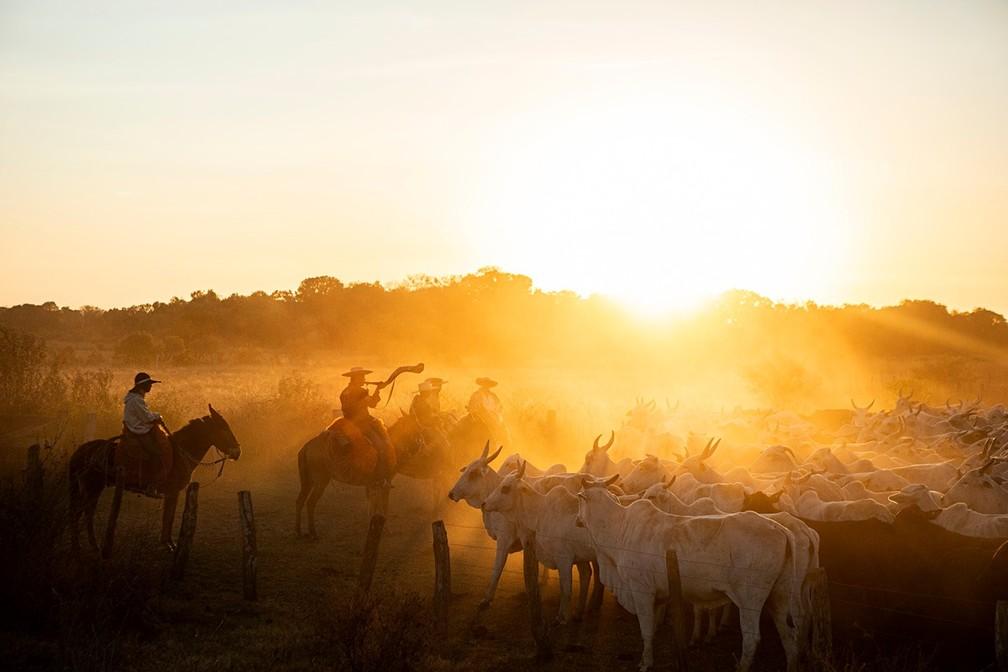 Comitiva com mais de 1000 cabeças de gado em Nhecolândia, no Mato Grosso do Sul, em agosto de 2021 — Foto: Ricardo Martins