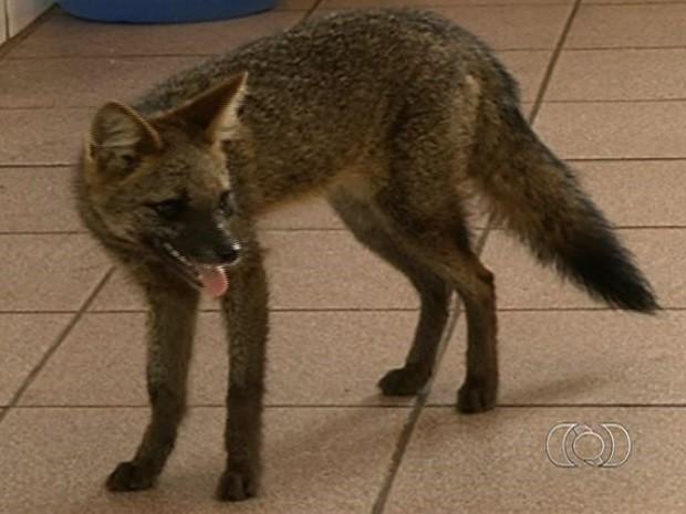 Raposa do campo é encontrada em quintal de casa, em Anápolis, Goiás (Fot Reprodução/Arquivo Pessoal)