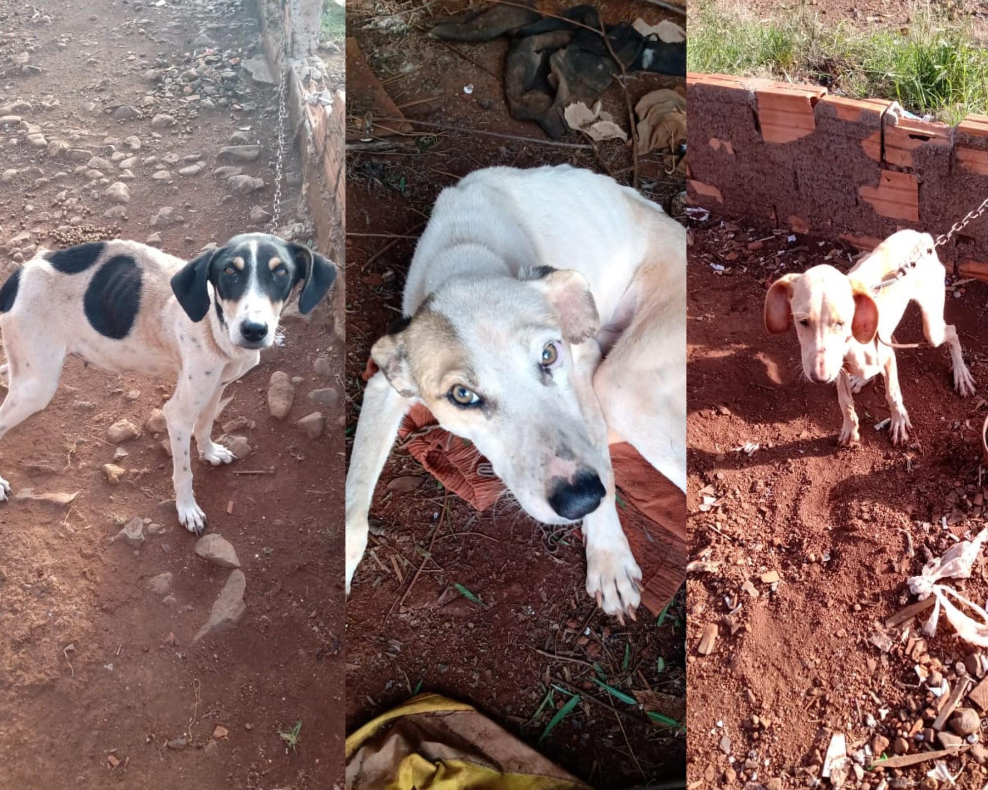 Cães são resgatados em situação de maus-tratos, e dois precisam de atendimento emergencial, em Candói