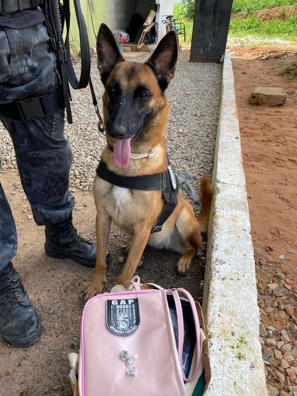 A cadela Laika ajudou a encontrar drogas escondidas em bolsa de visitante de presídio da Grande Fortaleza.  — Foto: Divulgação/GAP