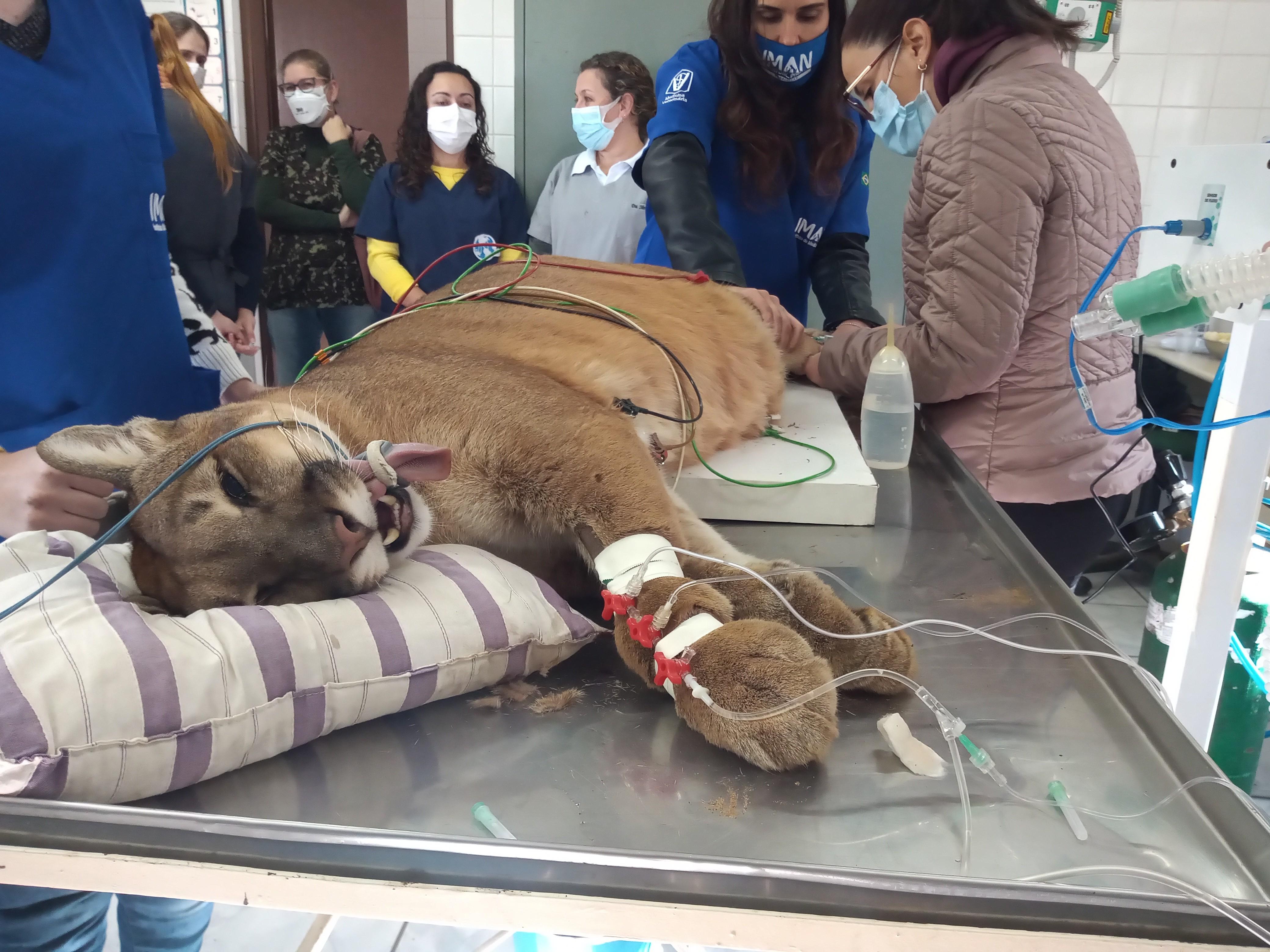 Onça-parda Ágata, do Zoológico de Piracicaba, passa por cirurgia nos olhos