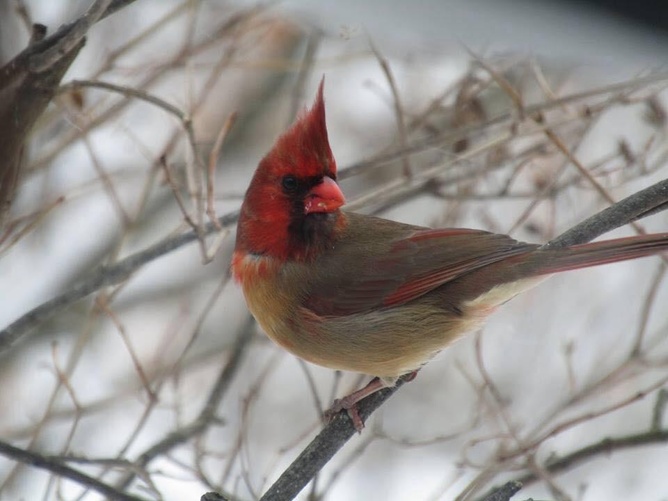 Passarinho metade macho, metade fêmea (Foto: Reprodução/Facebook/Shirley Caldwell)