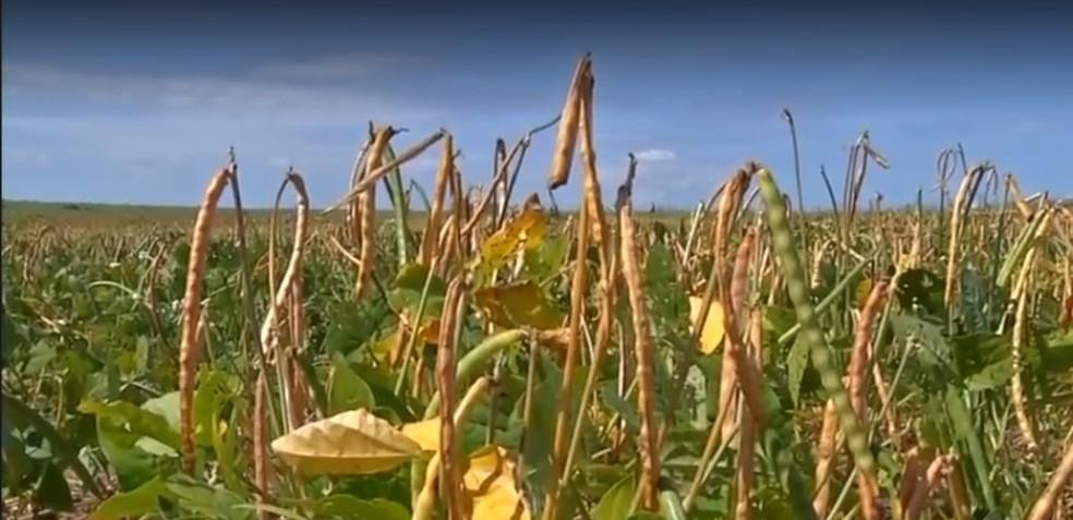 Produção de feijão caiu no estado — Foto: TVCA/Reprodução