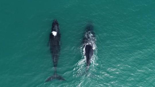 Fantástico revela como as baleias jubarte ressurgiram no Brasil