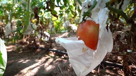 Conheça a técnica do encapsulamento do tomate, que evita a contaminação por agrotóxico