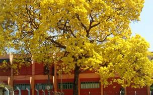 Árvore mais plantada no Brasil