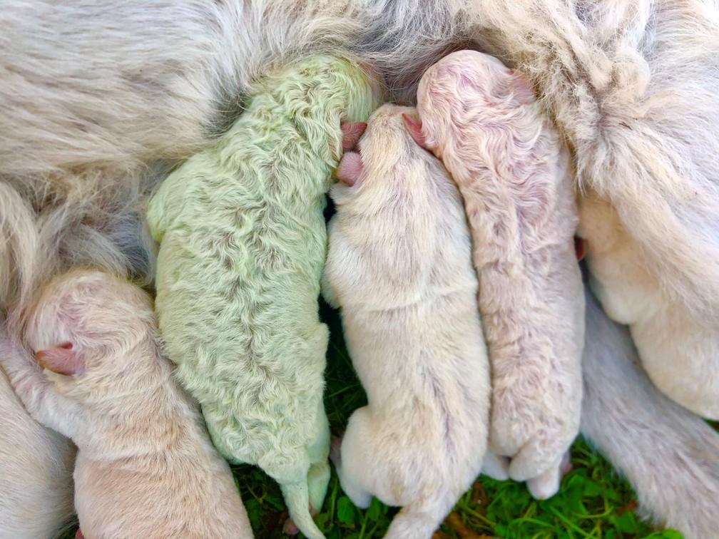 Foto mostra filhote com pelo verde em meio a 'irmãozinhos' brancos. — Foto: Cristian Mallocci/Handout