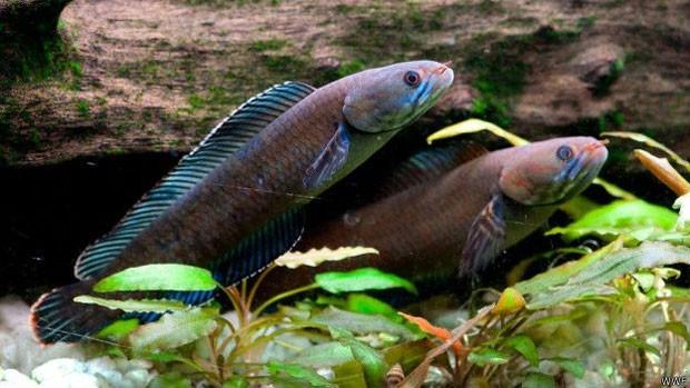 """O """"peixe andarilho"""" pode sobreviver fora d'água por até quatro dias  (Foto: WWF)"""