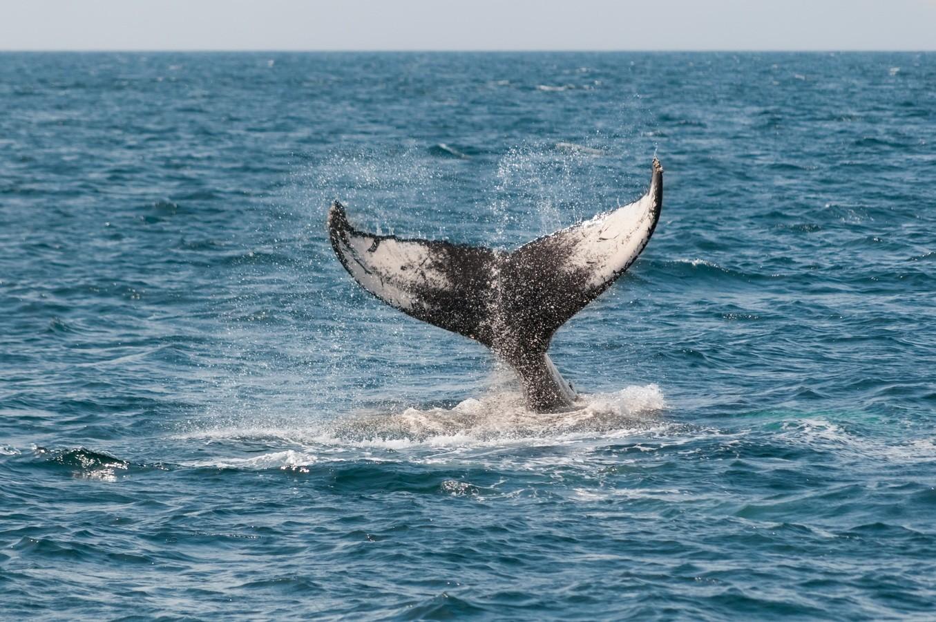 Baleia  jubarte possui técnicas diferentes para capturar sua refeição (Foto: Pxhere)