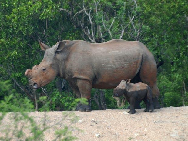 Rinoceronte com o chifre raspado (Foto: Geoff York/AAAS)