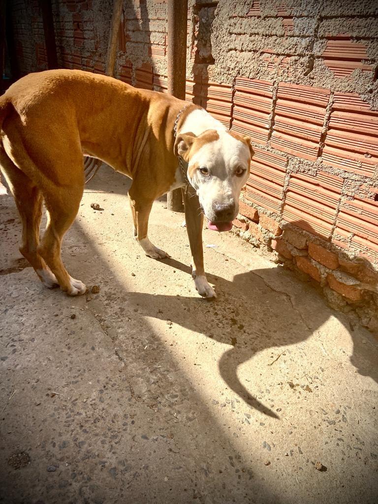 Cão pitbull é resgatado com suspeita de maus-tratos na região de Santa Teresinha em Piracicaba