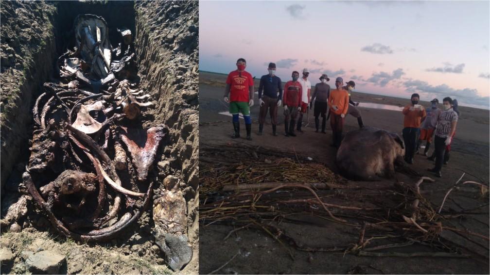 Cachalote que encalhou na costa do Amapá foi enterrada para que ossada seja exposta em museu — Foto: Iepa/Divulgação