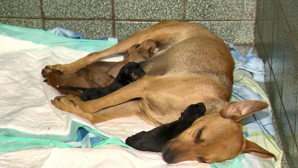 Cadela de rua grávida procurou ajuda em clínica — Foto: Reprodução/TV Gazeta