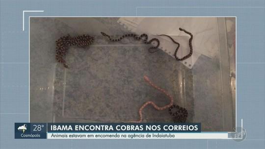 Funcionários dos Correios em Indaiatuba encontram cobras em encomenda; veja imagens