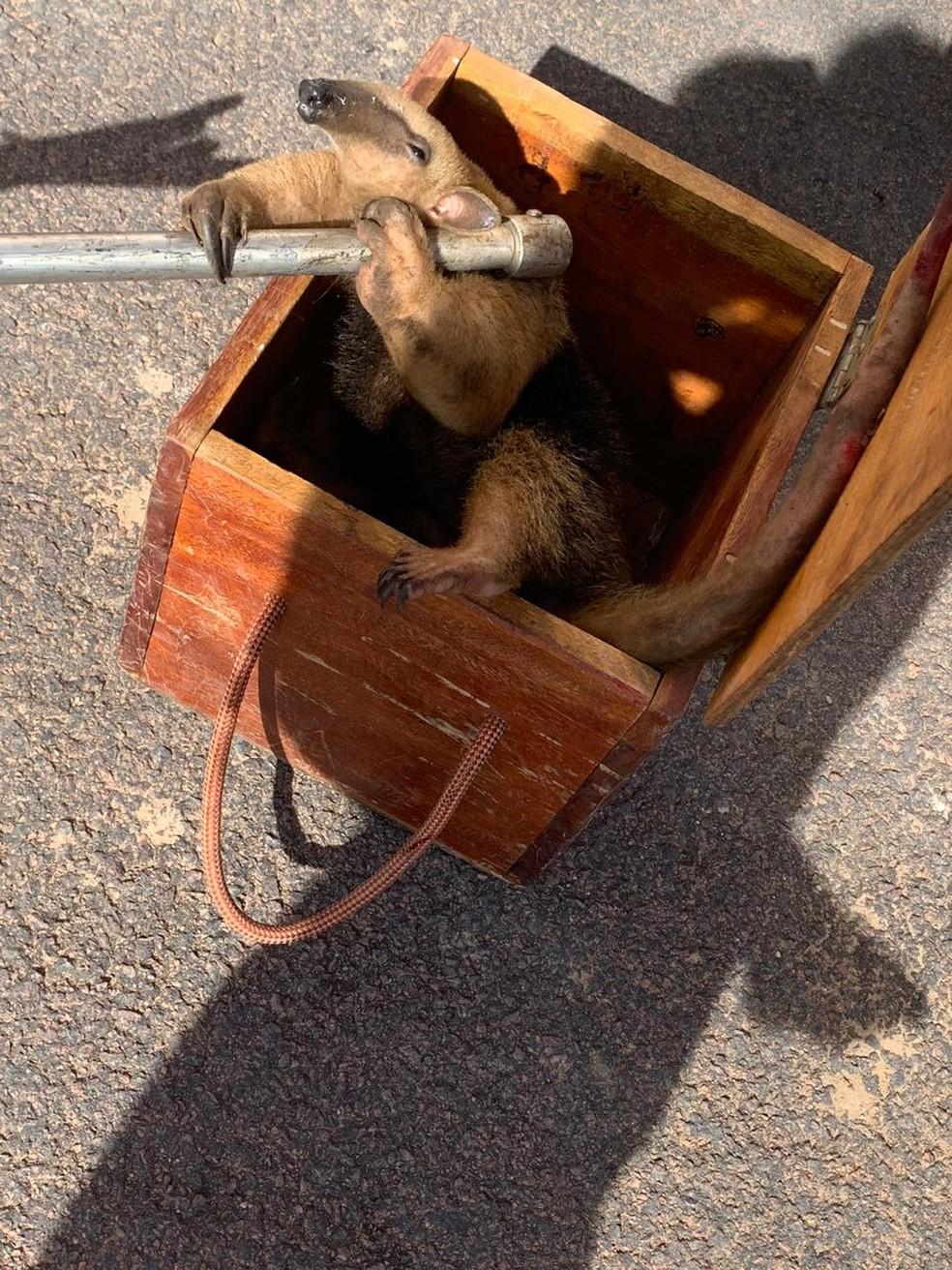 Tamanduá foi colocado em caixa de transporte e solto em área de preservação em Sinop — Foto: Corpo de Bombeiros de Sinop/Divulgação