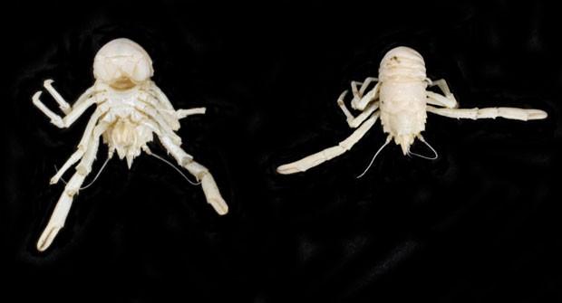 A nova espécie de lagosta que mede apenas sete milímetros de comprimento recebeu nome científico em homenagem ao ex-presidente da África do Sul, Nelson Mandela (Fot Reprodução/Facebook/Museu de História Natural de Londres)