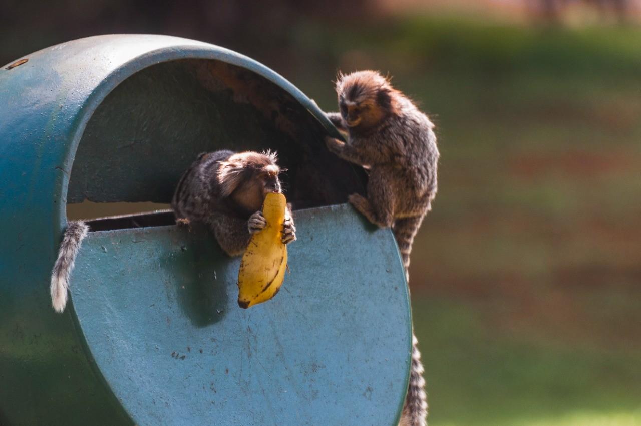 Mortes de saguis por herpes humana após alimento contaminado preocupam Jardim Botânico de Bauru