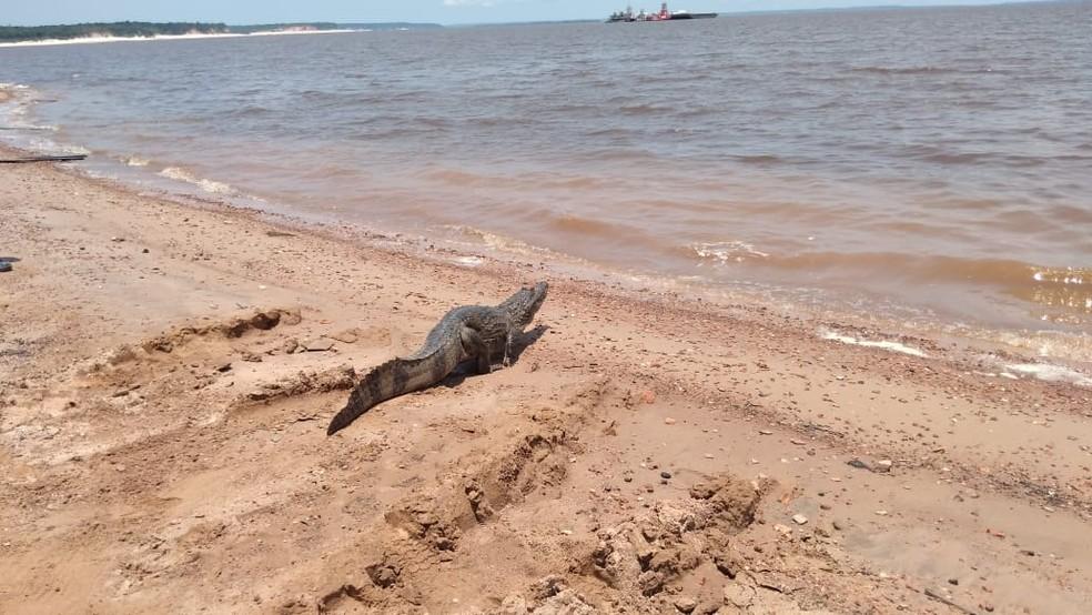 Jacaré foi solto no Rio Negro. — Foto: Divulgação/Batalhão Ambiental