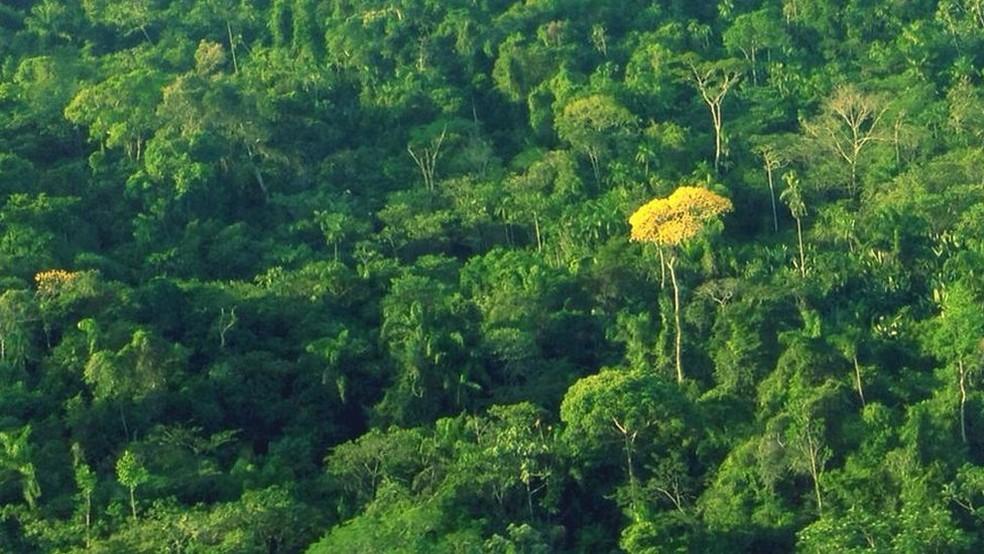 Ipês retirados de terras indígenas e de outras áreas de proteção integral são alvo de fraude para legalização da madeira (Foto: BBC)