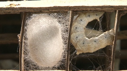 Paraná é líder nacional na produção de bicho-da-seda