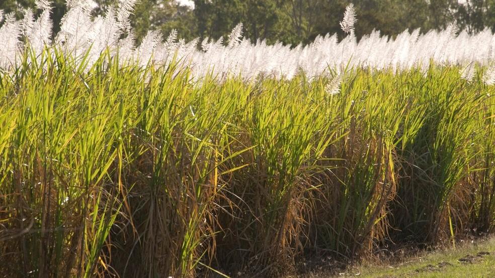 Etanol brasileiro é feito majoritariamente a partir da cana de açúcar — Foto: BBC