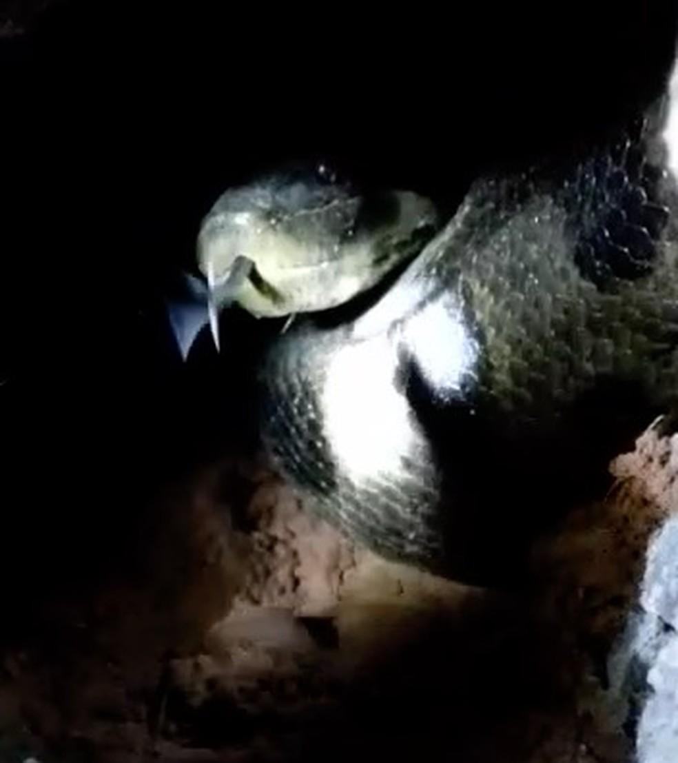 Cobras gigantes estão dentro de bueiro — Foto: Reprodução