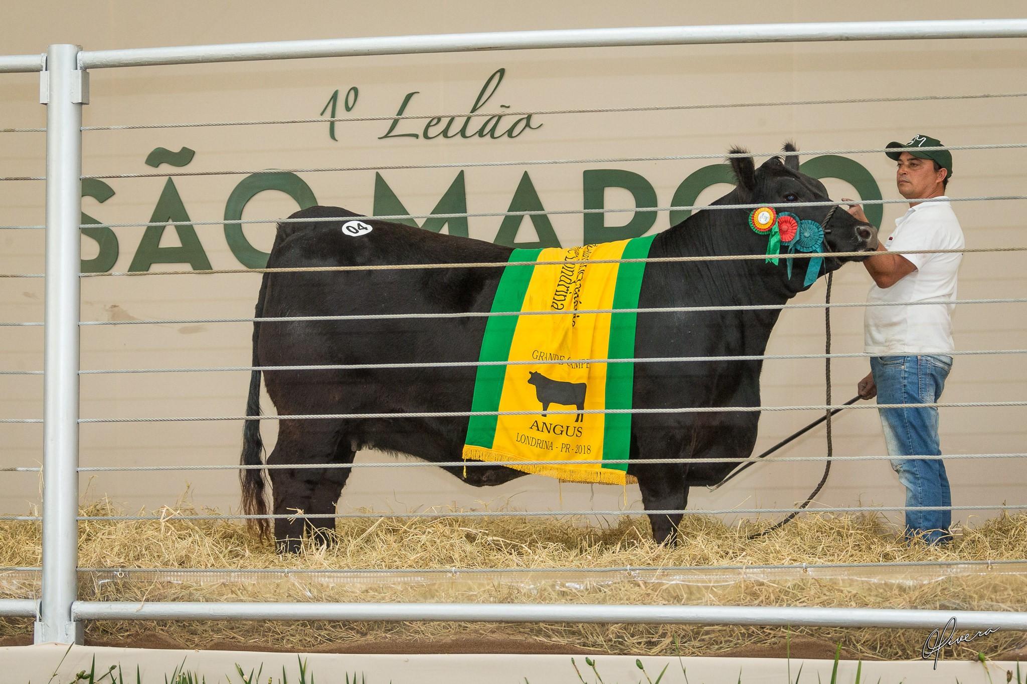 Vaca angus negociada no leilão São Marco (Foto:  Gabriel Oliveira/Divulgação)