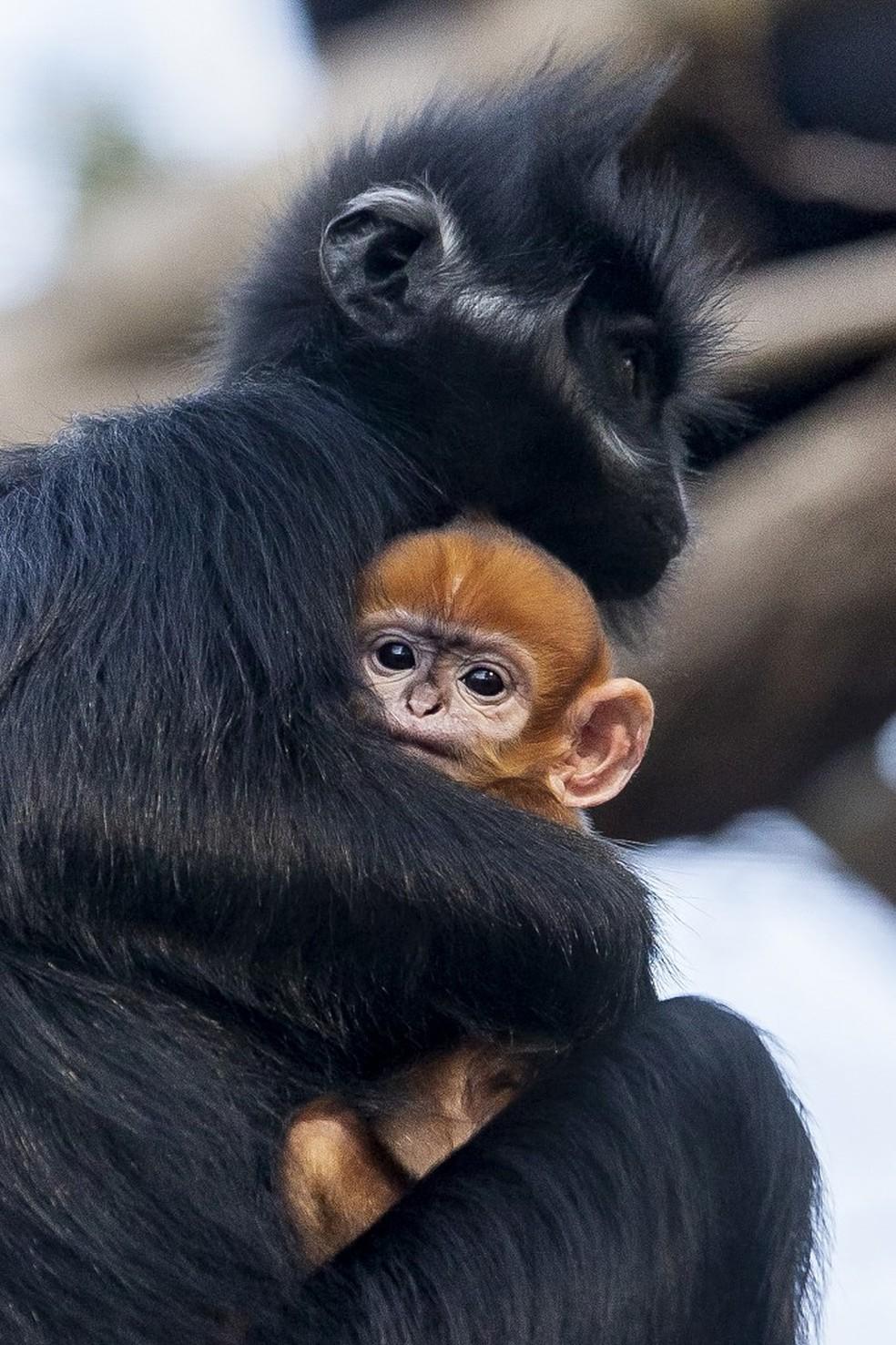 Filhote de langur-de-françois é visto com a família no zoológico de Sydney — Foto: Rick Stevens/Taronga Zoo/AFP