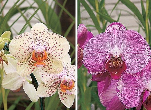 Phalaenopsis híbrida pintada e Phalaenopsis híbrida rosa (Foto: Evelyn Müller)