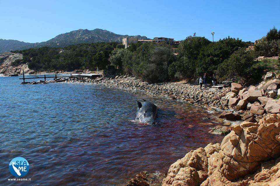 """Baleia encontrada morta media 8 metros de largura e está na """"lista vermelha"""" de animais vulneráveis da União Internacional de Conservação da Natureza (IUCN). (Foto: SEAME Sardenha / Facebook )"""