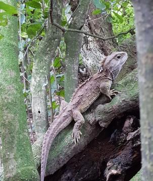 Cientistas estudam DNA da tuatara, espécie viva há 250 milhões de anos