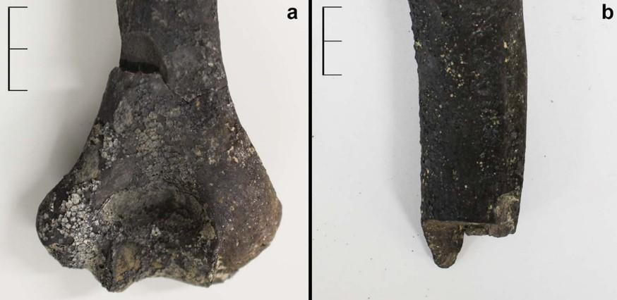 Em alguns ossos é possível ver marcas de corte por instrumentos afiados (Foto: © Antiquity Publications Ltd)
