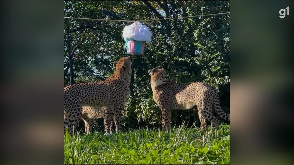 Zoológico nos EUA dá pinhata para filhotes de guepardos em celebração pelo aniversário de dois anos