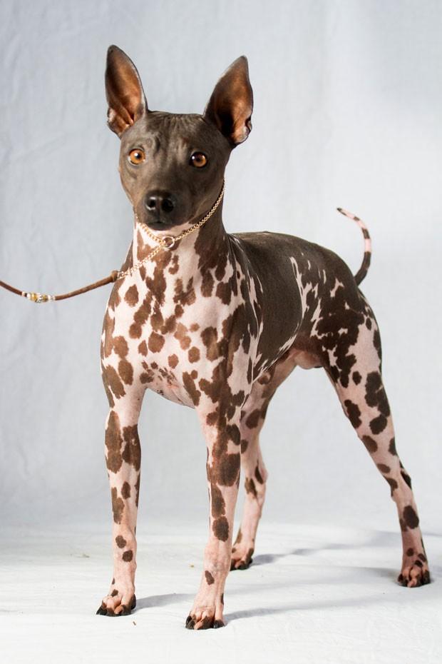 Foto sem data mostra o o terrier americano sem pelos  (Foto: American Kennel Club/AP)