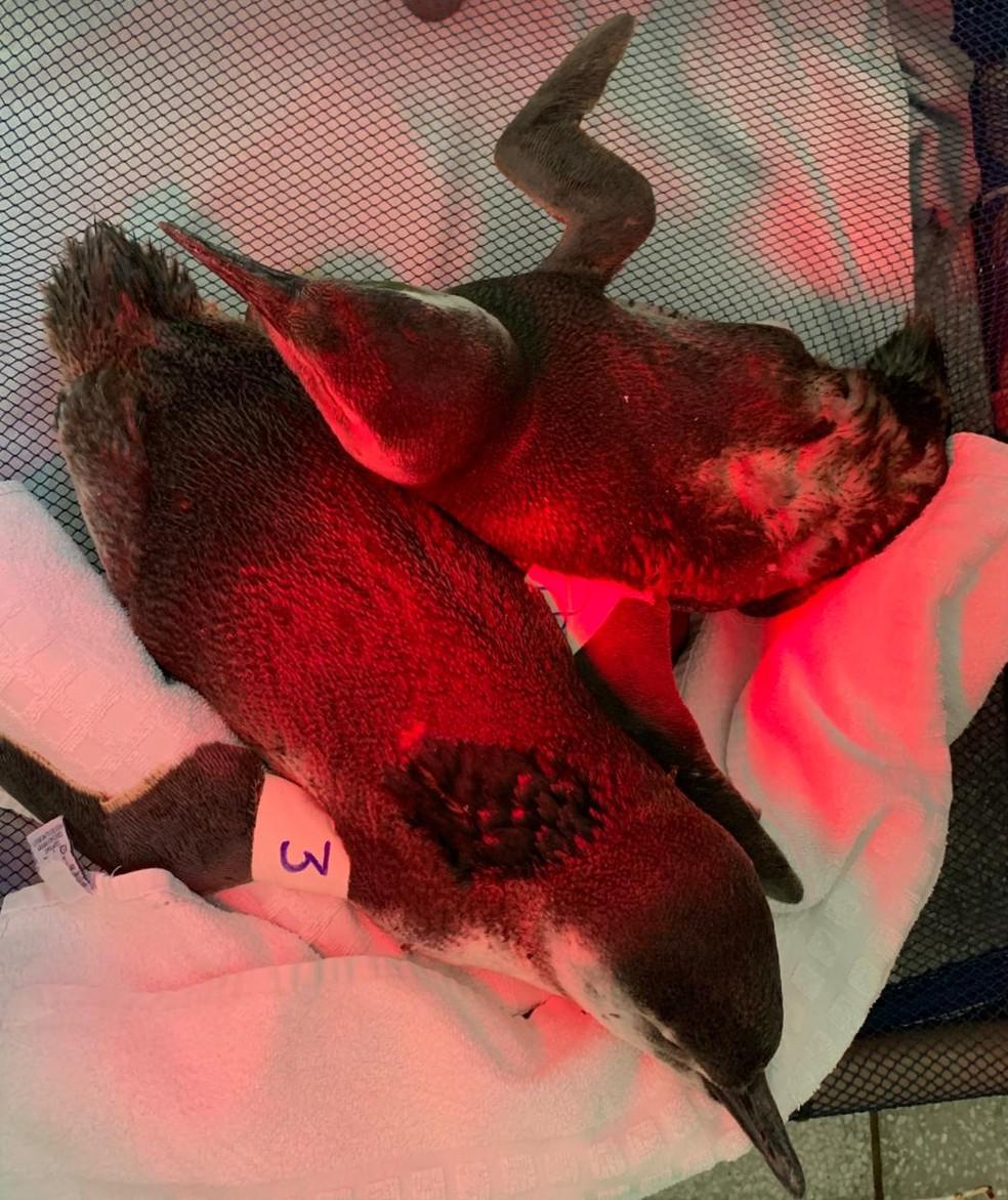 Pinguins foram resgatados pelo Instituto Gremar — Foto: Divulgação/Instituto Gremar