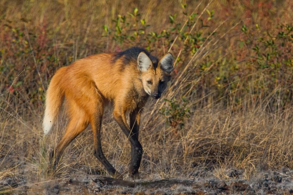 Lobo-guará é o único lobo do Brasil e, ao final de agosto de 2020, será símbolo da nota de R$ 200 — Foto: Luciano Lima/TG