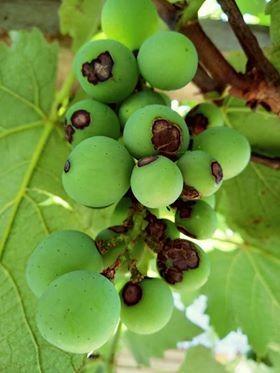 Videiras com manchas em seus frutos  (Foto: Jose Nelson)