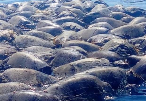 Depois de se enroscarem em rede de pesca ilegal, centenas de tartarugas com risco de extinção morrem no México (Foto: Defesa civil de Oaxaca via BBC)