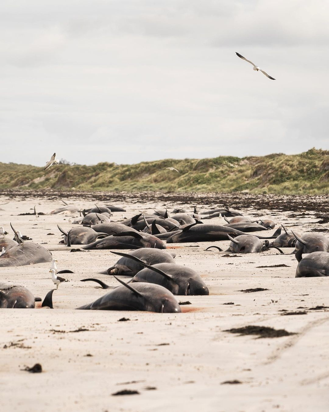 Quase 100 baleias-piloto morrem encalhadas na Nova Zelândia thumbnail