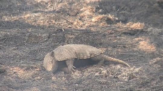 Animais são encontrados carbonizados em área de reserva ambiental atingida por queimada em Castilho