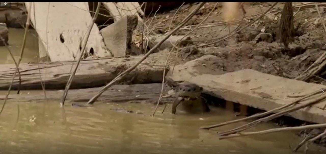 Lontras debilitadas que sobreviveram a incêndios no Pantanal são alimentadas por voluntários em MT